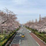 国立市の桜並木が各地で満開~春の訪れ♪